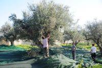 Wettbewerb in Rethymon: Kretisches Olivenöl im Vormarsch