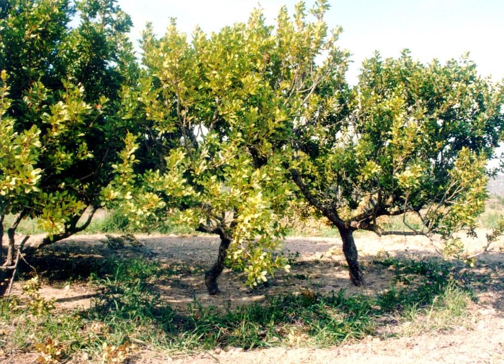 Der Mastixbaum gehört zu den Pistaziengewächsen und wurde schon in der Antike landwirtschaftlich genutzt. (© Eurokinissi)