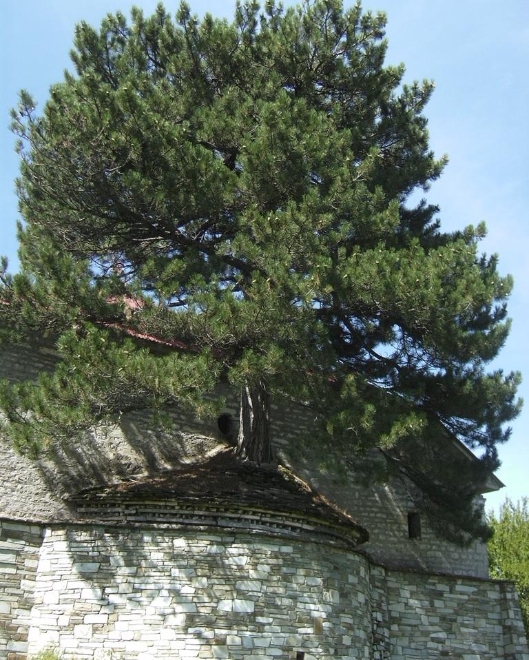 Ein Baum wächst auf dem Dach der DorfkircheSMALL