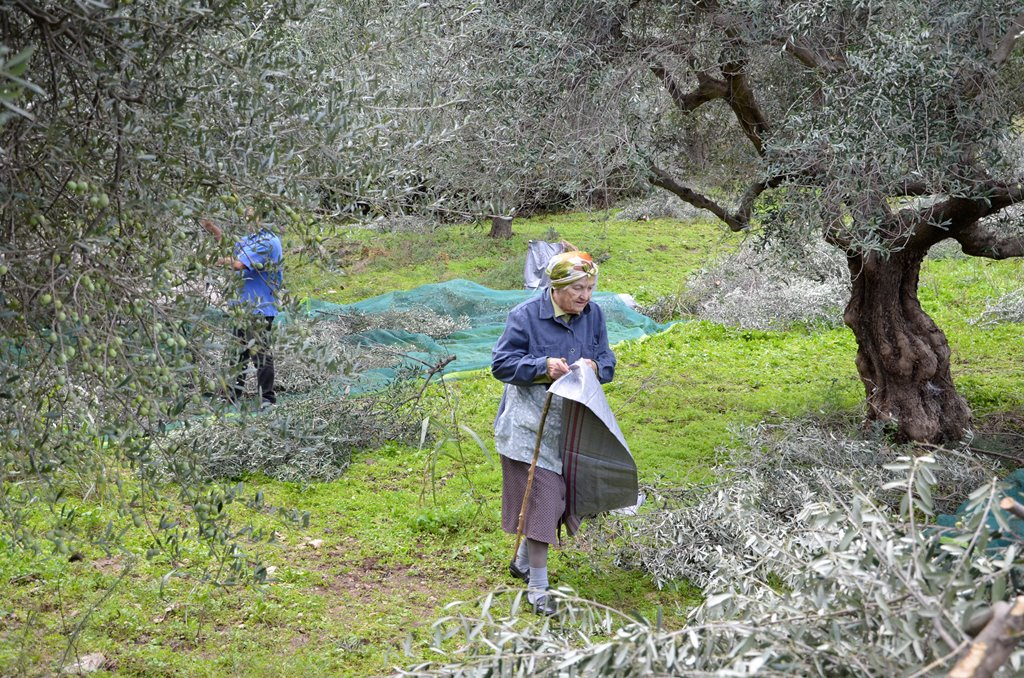 Olivenöl Ernte 2 SMALL