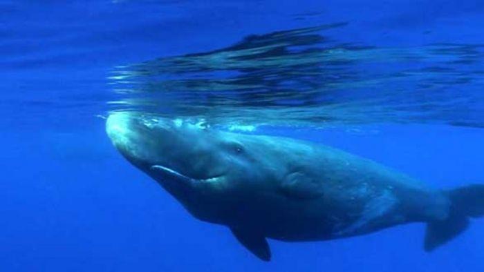 Tv-Tipp: Pottwale – Giganten im Mittelmeer