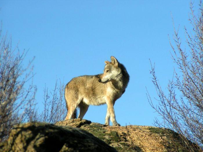 Nach 50 Jahren wieder Wölfe nahe Athen gesichtet